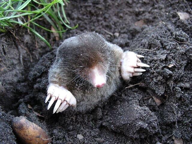 Adopt A Mole