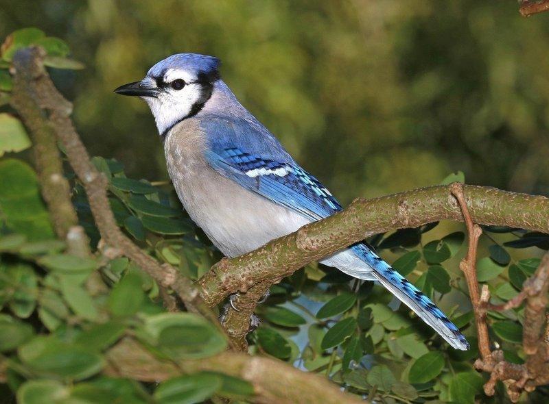 Adopt A Blue Jay