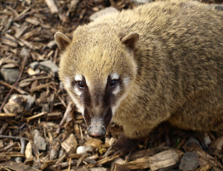 Adopt A Coati