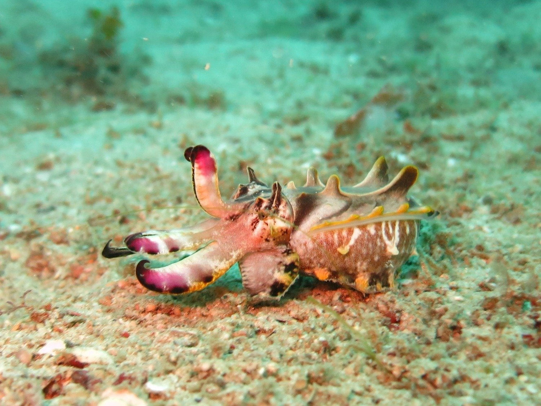 Adopt A Cuttlefish