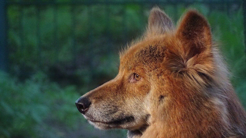 Adopt A Dingo