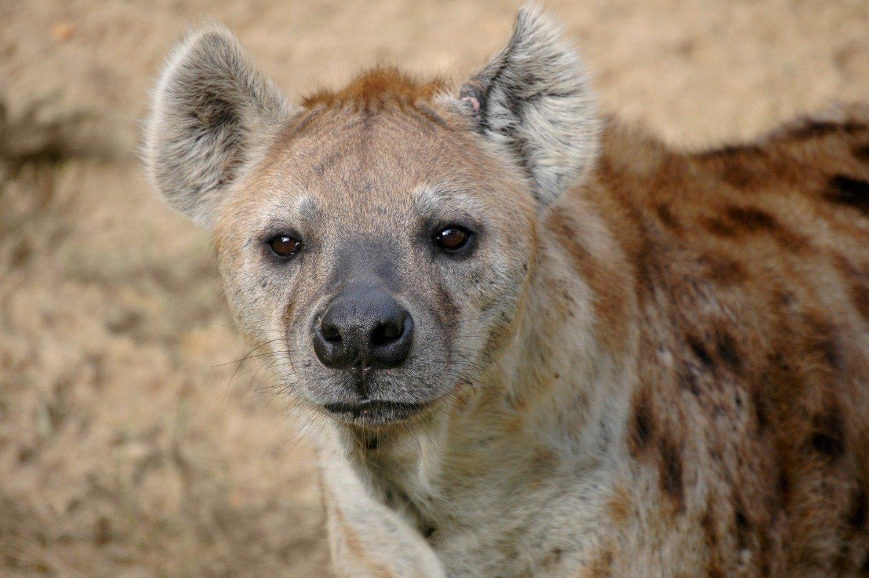 Adopt A Hyena
