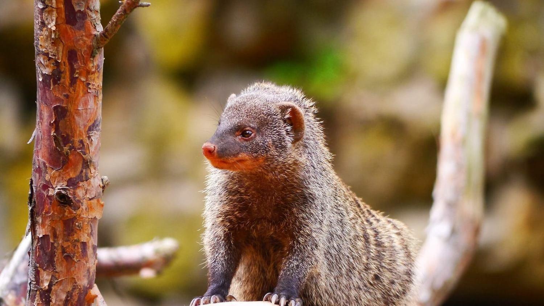 Adopt A Mongoose