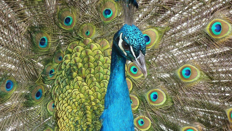 Adopt A Peacock