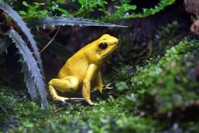 Adopt A Poison Dart Frog