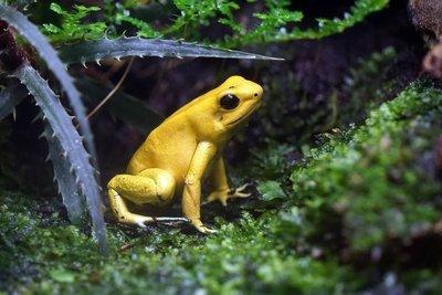 Adopt A Poison Dart Frog