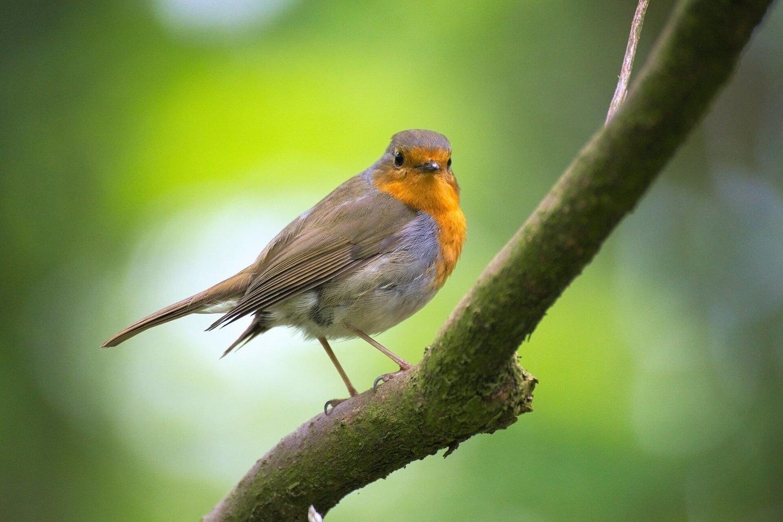 Adopt A Robin