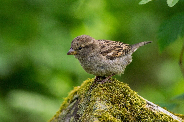 Adopt A Sparrow