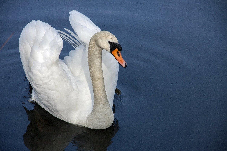 Adopt A Swan