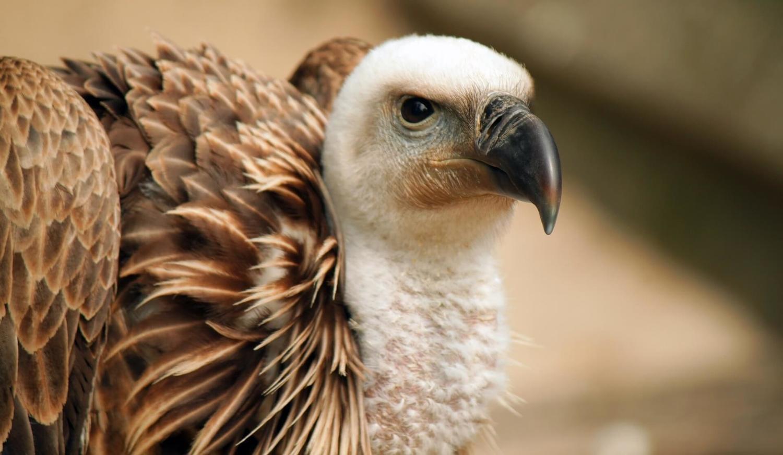 Adopt A Vulture