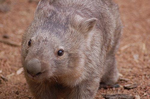 Adopt A Wombat