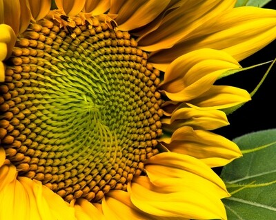 SALE Sunflowers, Wayne Eastep