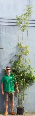 Gracilis Bamboo 300mm - approximately 3.5 to 4 meters tall