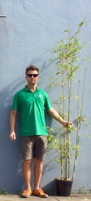 Gracilis Bamboo 250mm - approximately 2.5 to 3 meters tall