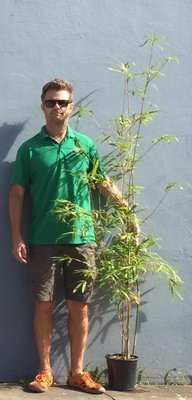 Gracilis Bamboo 200mm - Premium -  approximately 2 meters tall
