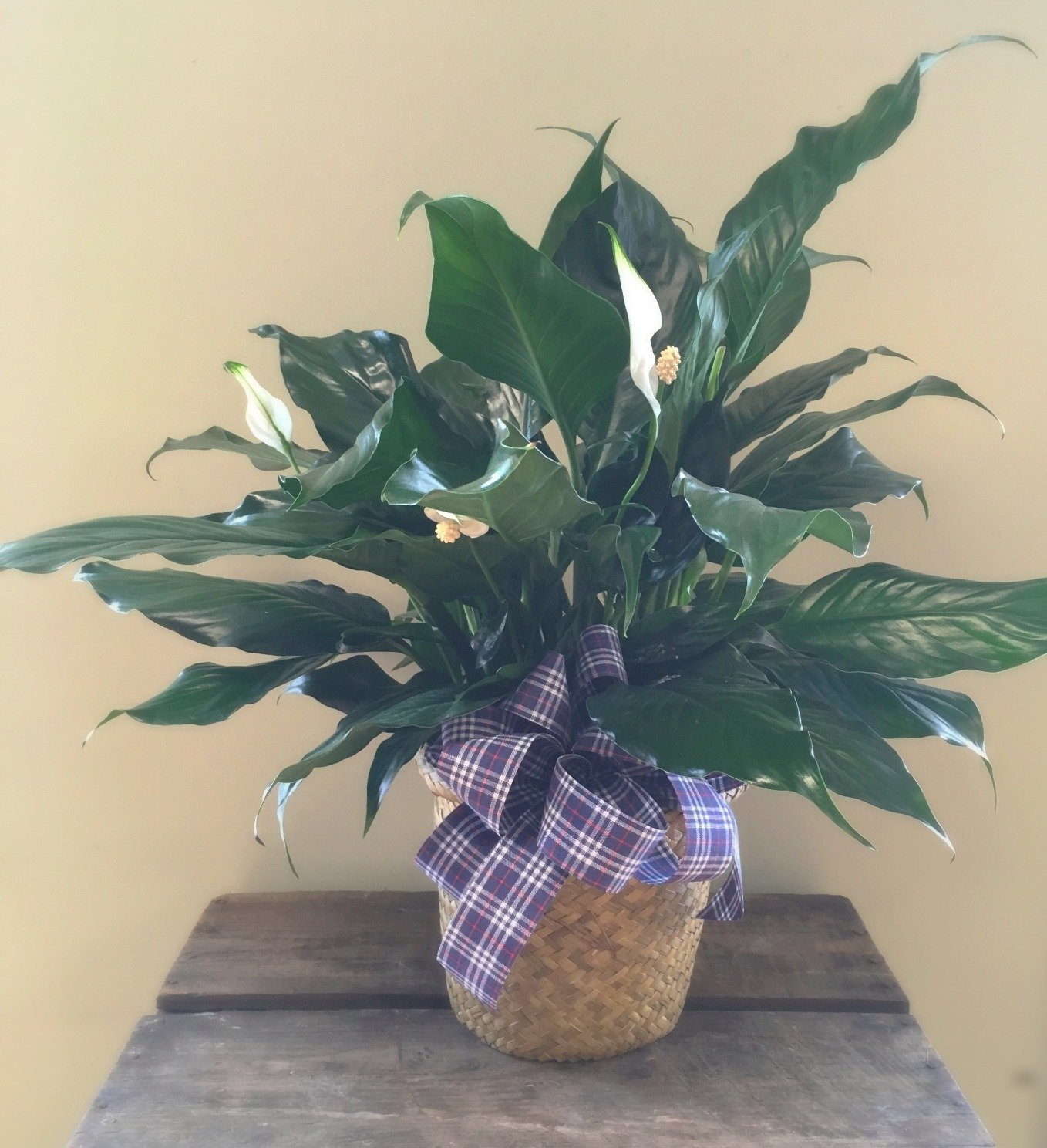 Peace Lilly Planter
