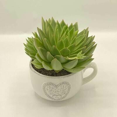 SUCCULENT TEA CUP