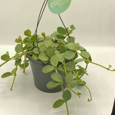 PILEA HANGING Peperomioides (Chinese Money Plant) INDOOR PLANT
