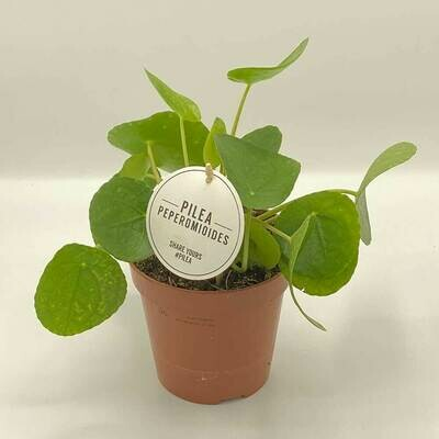 PILEA STANDING Peperomioides (Chinese Money Plant) INDOOR PLANT