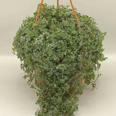 PEPEROMIA HOPE INDOOR HANGING PLANT
