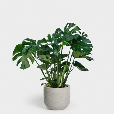 POTTED MONSTERA //50CM INDOOR PLANT