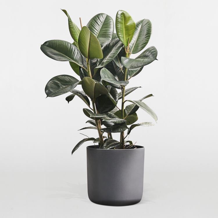 POTTED FICUS ROBUSTA INDOOR PLANT