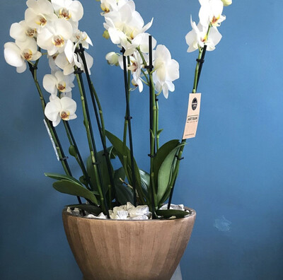 PHALAENOPSIS WHITE ORCHID INDOOR PLANTER