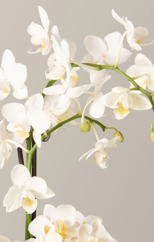 PHALAENOPSIS WHITE ORCHID INDOOR PLANT GIFT WRAPPED