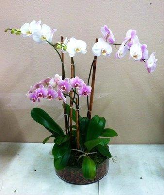 Solidarity Orchid