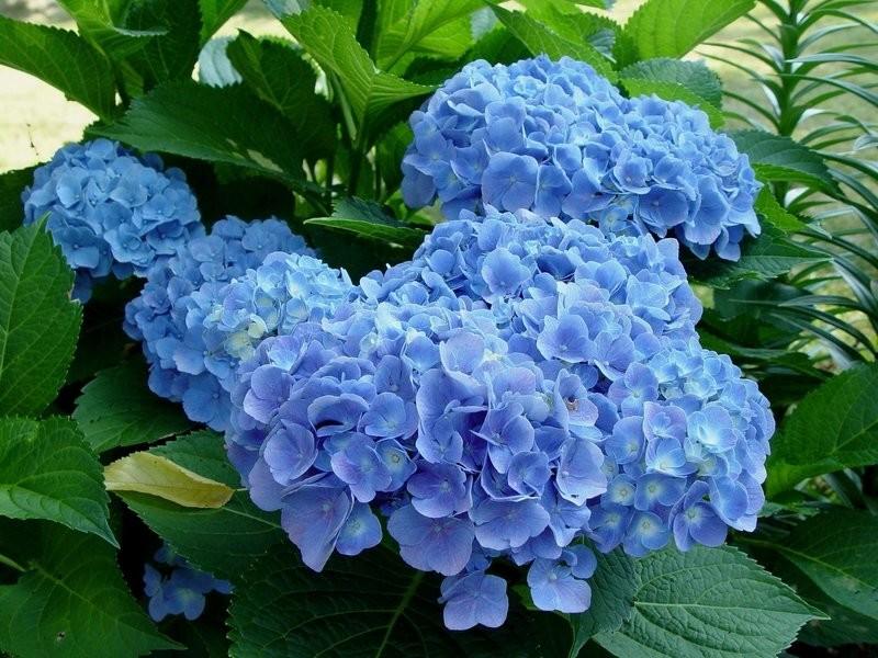 Гортензия крупнолистная Forever&Ever Blue ЗКС* 3л.