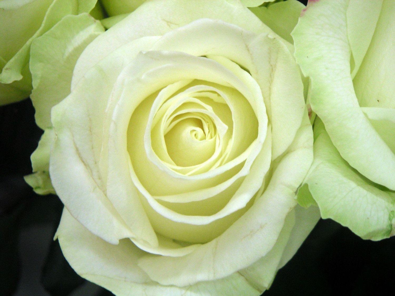 """Роза чайно-гибридная """"Аваланж""""(Avalanche)"""