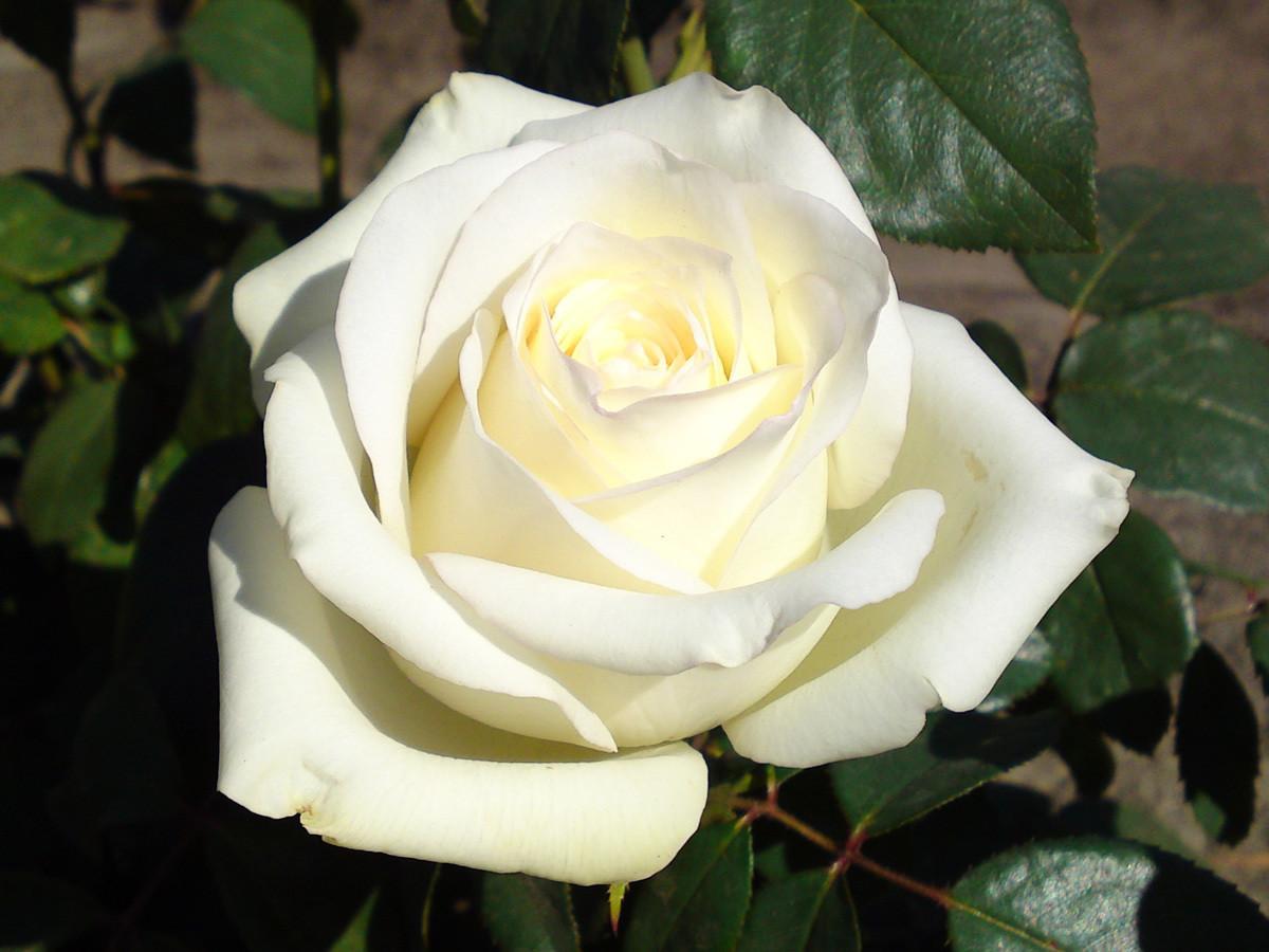"""Роза чайно-гибридная """"Анастасия"""" (Anastasia) контейнер 5л."""