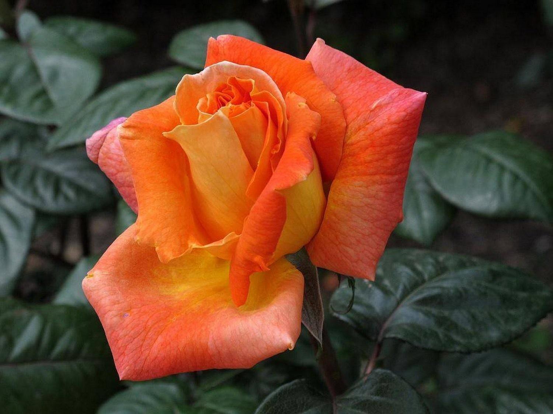 """Роза чайно-гибридная """"Амбассадор""""(Ambassador)"""