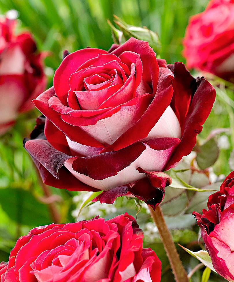 """Роза чайно-гибридная """"Осирия""""(Osiria)"""