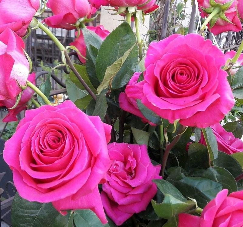 "Роза чайно-гибридная ""Европа"" (Europa) контейнер 5л."