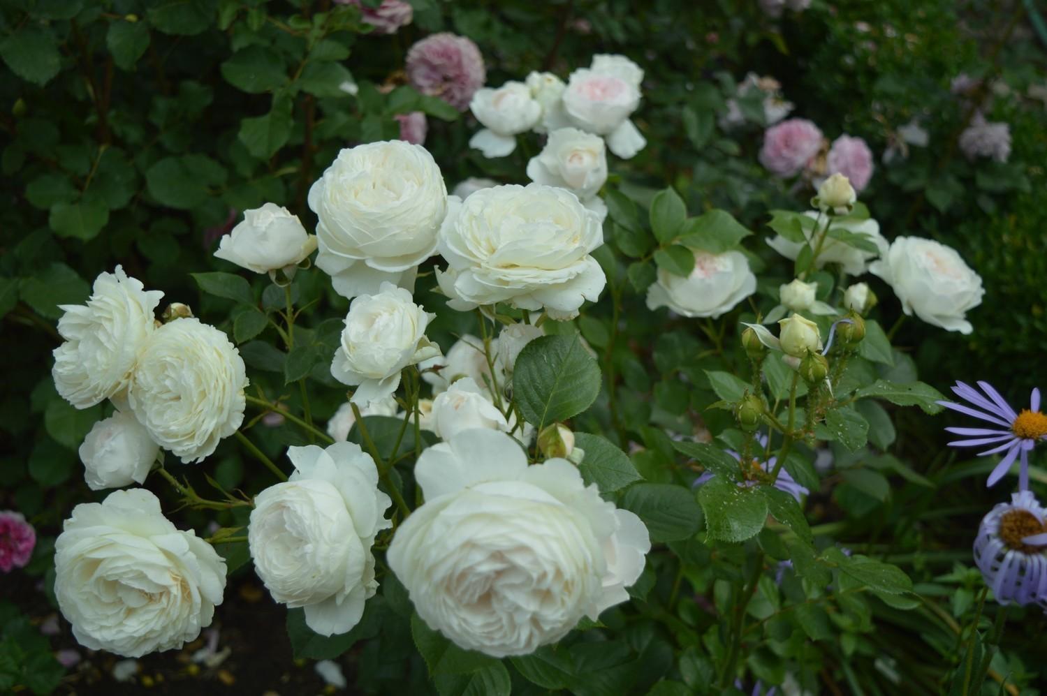 """Роза миниатюрная """"Глобус""""(Globus) контейнер 5л."""