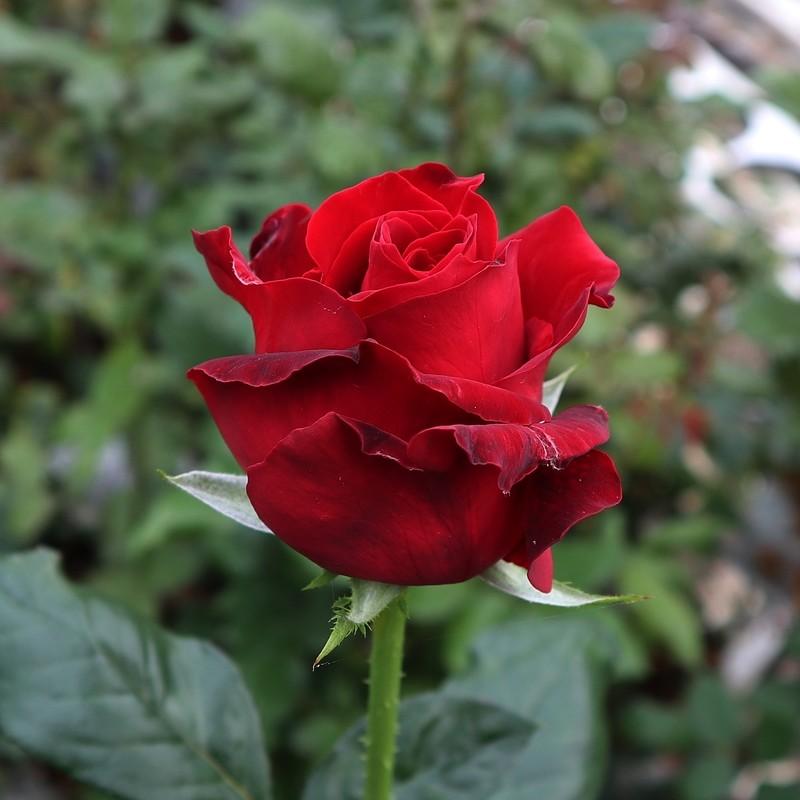 "Роза чайно-гибридная ""Ред Берлин""(Red Berlin) контейнер 5л."