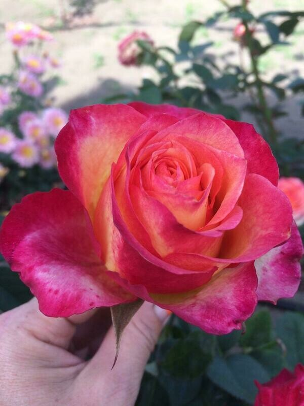 "Роза чайно-гибридная ""Утопия""(Utopia) контейнер 5л."