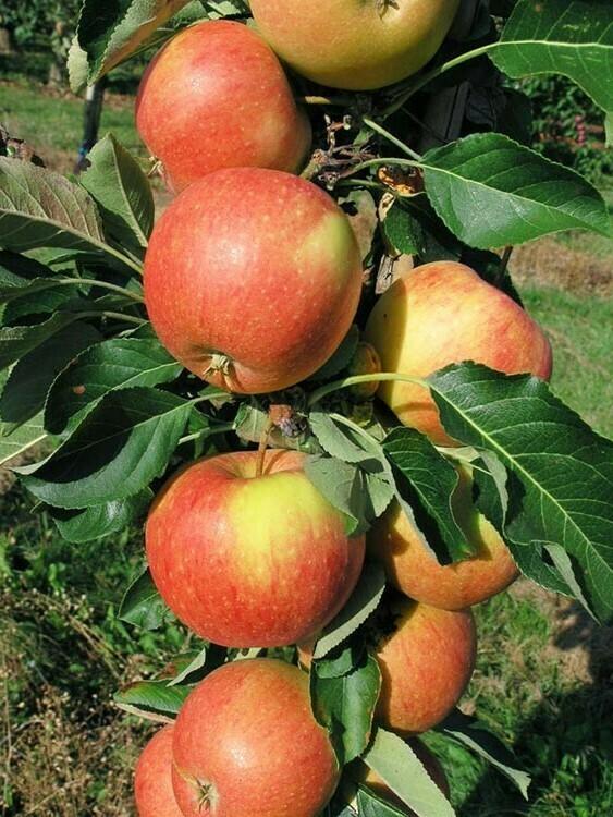 Яблоня колоновидная