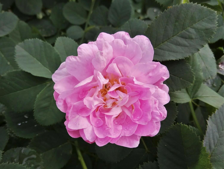 Роза морщинистая ЗКС* 3л.