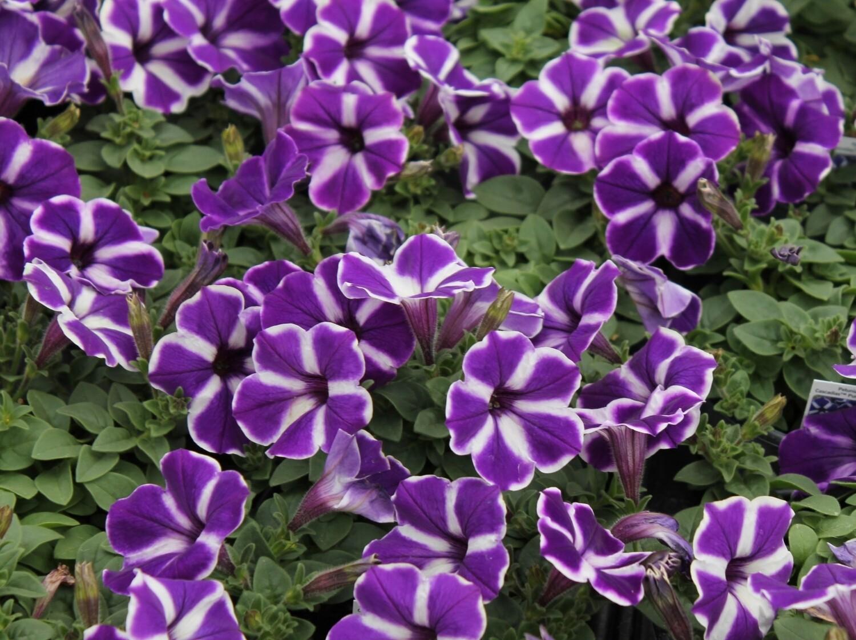 """Петуния вегетативная """"Cascadias purple gem"""" контейнер p7"""