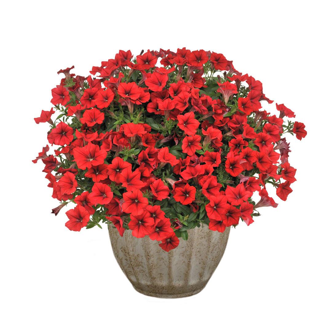 "Петуния вегетативная ""Surfinia table dark red"" контейнер p7"