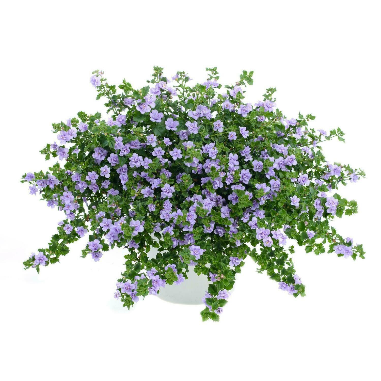 """Бакопа ампельная """"Double lavender"""" контейнер p7"""