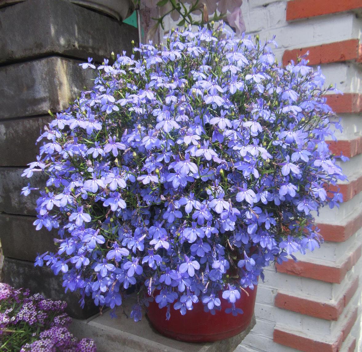 "Лобелия ""Star blue"" контейнер р7"
