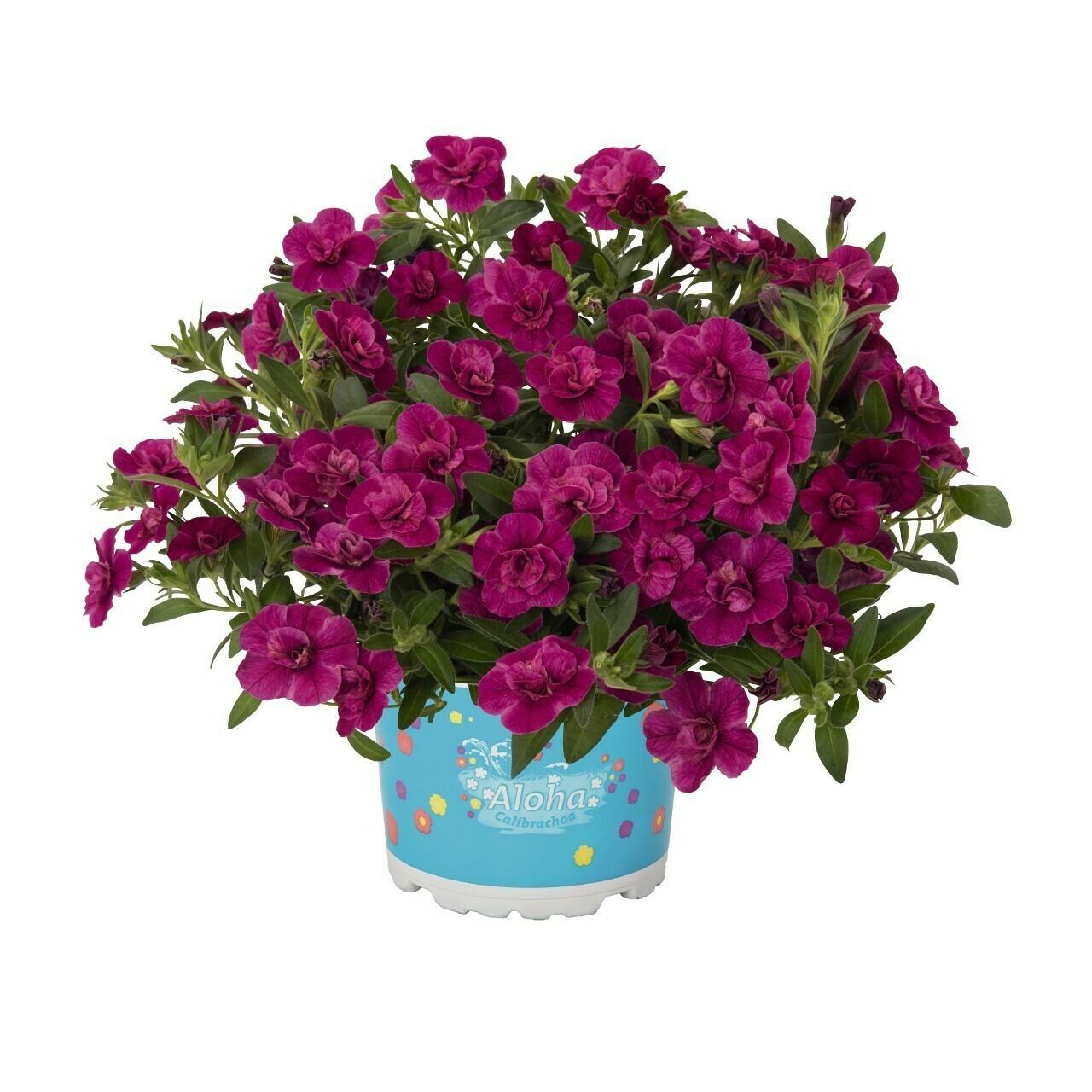 """Калибрахоа """"Aloha double purple"""" контейнер р7"""