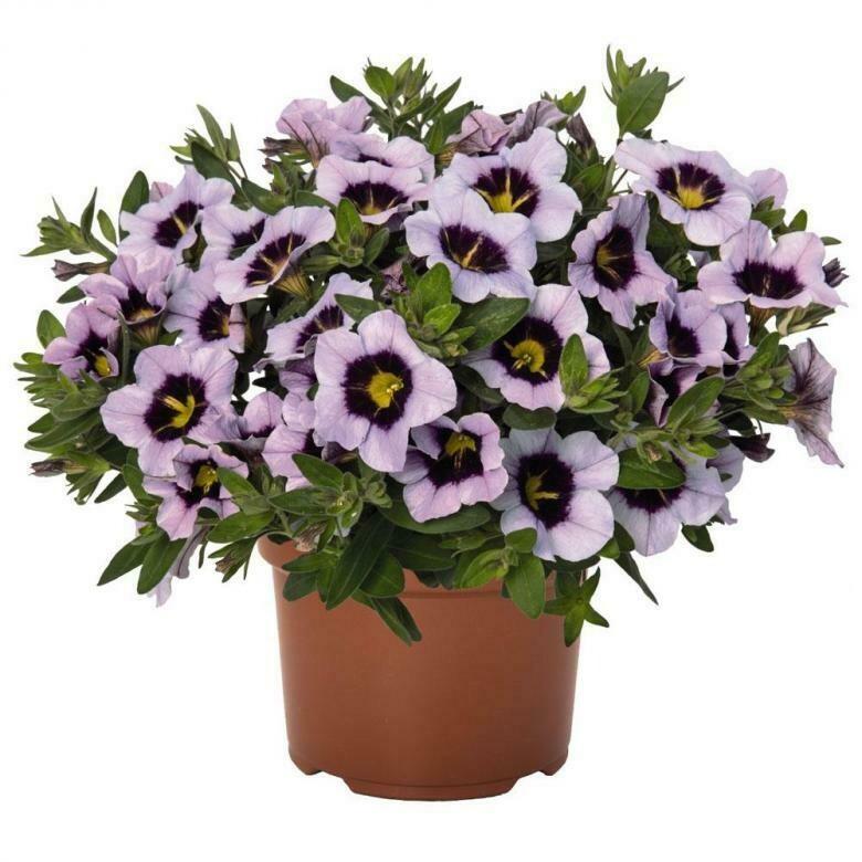 "Калибрахоа ""Hula lavender"" контейнер р7"