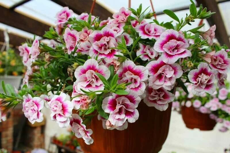 "Калибрахоа ""Calita double pink bicolor"" контейнер р7"