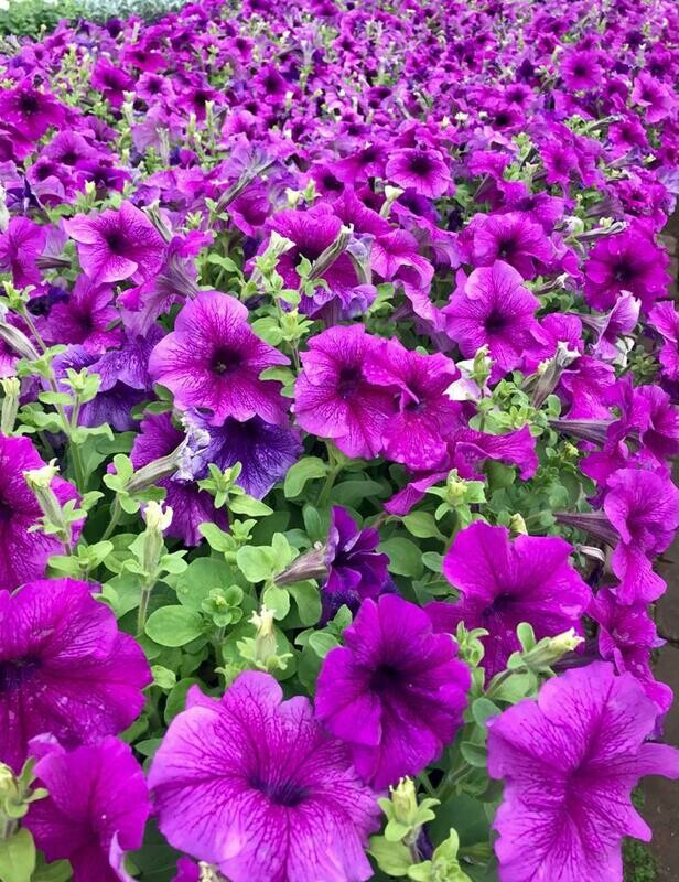 "Петуния ""succes purple vein"" р7"