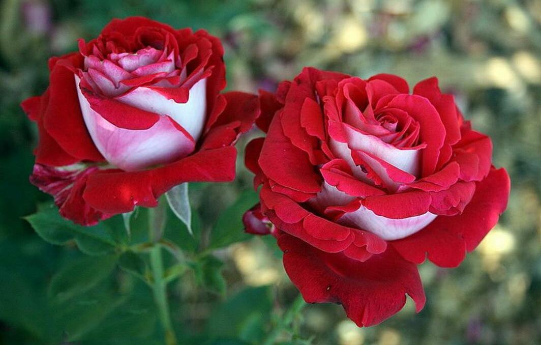 "Роза чайно-гибридная ""Осирия""(Osiria) контейнер 5л."