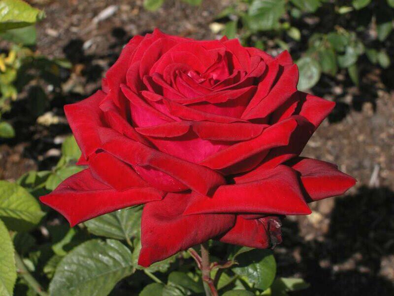 "Роза чайно-гибридная ""Бургунд"" (Burgund) контейнер 5л."